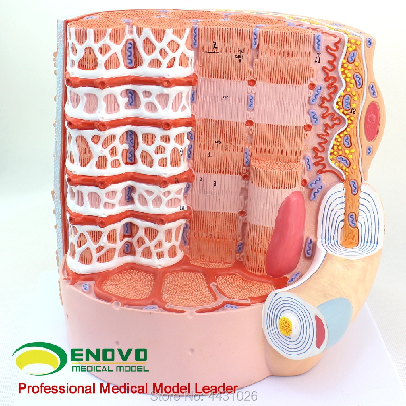 все цены на ENOVO Human muscle fiber amplification model microanatomy model medical teaching human anatomy онлайн
