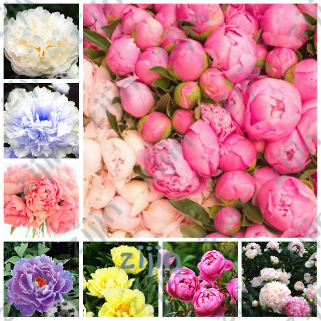20pcs Bonsai Rare Chinese Peony Planting Greenery Flowers Outdoor Terrace Courtyard Paeonia Flower for Home Garden Decoration
