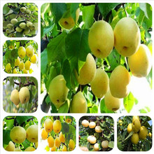 10pcs wholesale golden pear bonsai healthy and delicious high quality pear fruit potted sufficient spot north and south(China)