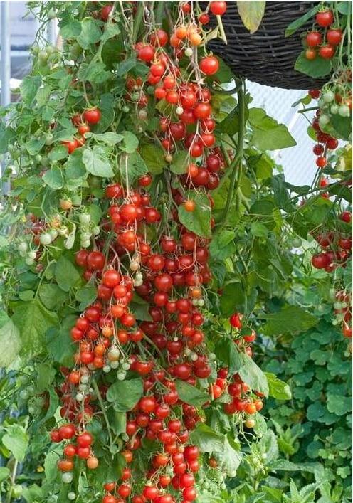 200pcs/bag climbing tomato seeds cherry tomato Organic seeds vegetables tomato tree Non-GMO food bonsai pot home garden plant