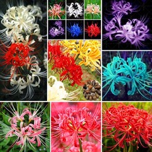 Hot sale!!Rare Lycoris radiata Bulb,Free shipping cheap perfume Lycoris radiata Bulb, mixied colors - 2 Bana bulb.Manjusaka Bulb