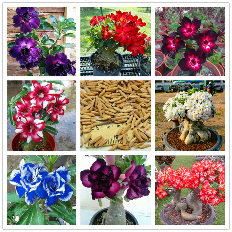 100% True Desert Rose seeds adenium obesum seeds bonsai flower seeds adenium double petals potted plant brave Heart 2 pcs bag