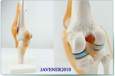 Human Anatomical Anatomy Functional Knee-joint Medical Model +Stand Fexible