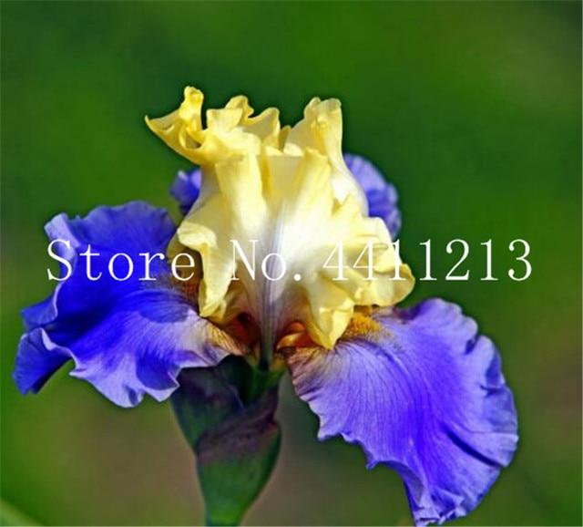 200 pz Rare Iris Fiore di orchidea piante d'appartamento Bella Casa Giardino Piantare Fiori Bonsai Semillas, pianta per il giardino di casa