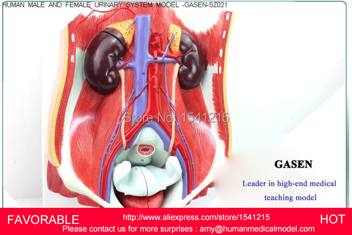 US $310 0 |FEMALE/MALE URINARY,HUMAN FEMALE URINARY SYSTEM MODEL, FEMALE  URINARY ORGAN SYSTEM MODEL,HUMAN URINARY SYSTEM ORGAN GASEN SZ021-in  Medical