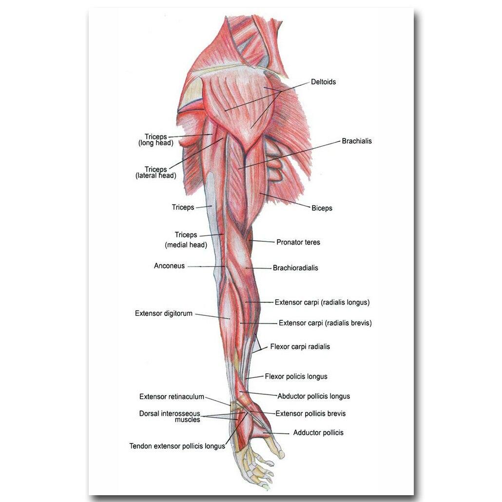 Menschlichen Anatomie Armmuskulatur System Art Silk Tuch Plakat ...