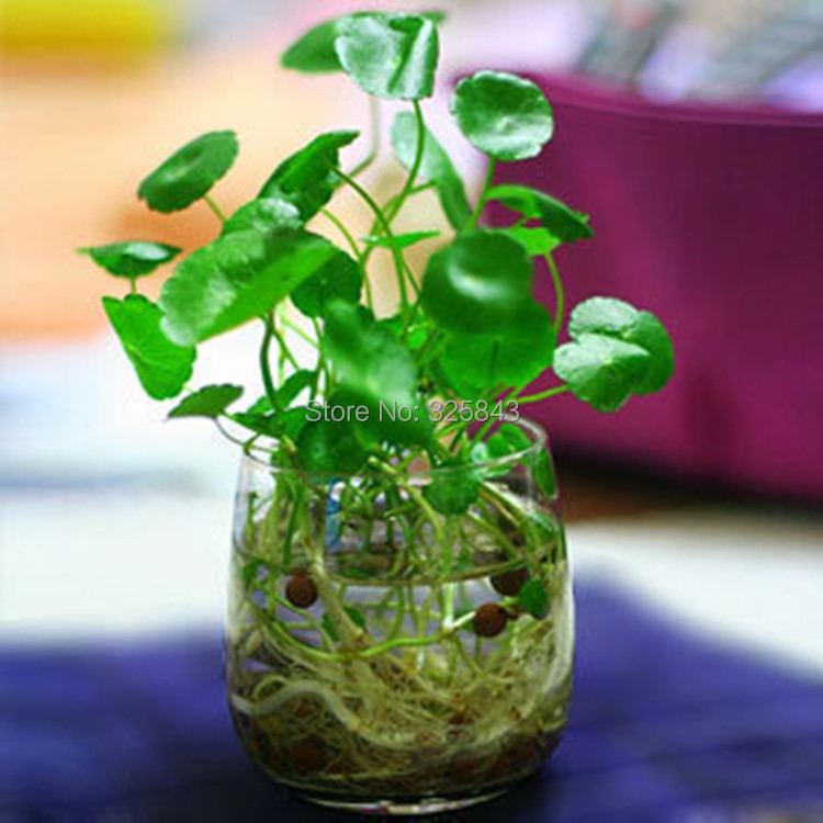 Charmant Online Shop 30pcs/lot Hydroponics Flower Aquarium Plants Penny Grass Seeds,  Best Indoor Bonsai Plant Hydrocotyle Vulgaris Seeds | Aliexpress Mobile