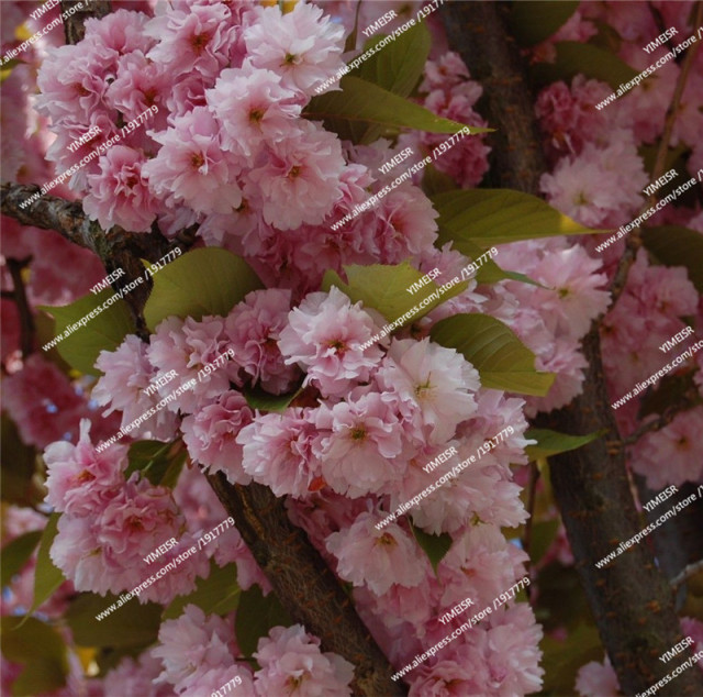 Rare Japanese cherry Blossoms flowers seeds in indoor bonsai