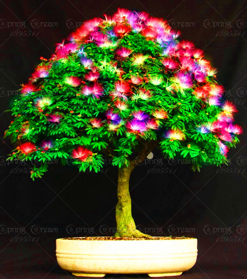 Set Of 10 Country Garden Flower Seed Wedding Favours With: 11.11 Big Sale 20 Rainbow Acacia Seeds ,beautiful Bonsai