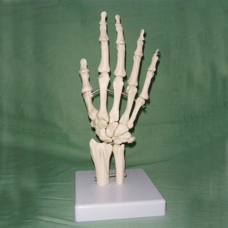 1:1 Life Size Human Hand Joint Model Hand Skeleton Bone Model Wrist Vola Palm Skeleton Model Medical Science Teaching Supplies 1 2 life size knee joint anatomical model skeleton human medical anatomy for medical science teaching