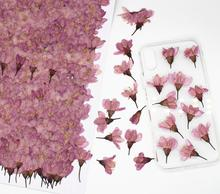 250pcs Pressed Dried Cherry Sakura Flower Plants Herbarium For Resin Jewelry Making Postcard Frame Phone Case Craft DIY