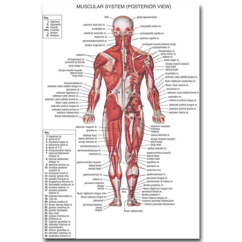 Анатомия человека мышцы Системы Книги по искусству шелковая ткань плакат печать 13x20 24x36 дюймов Средства ухода за кожей Географические карты...