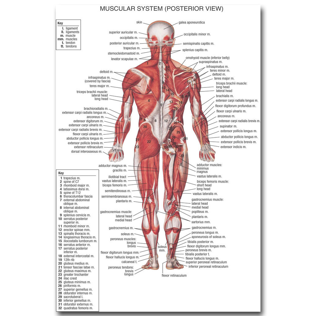 Human Anatomy Muscles System Art Silk Cloth Poster Print 13x20 24x36 ...