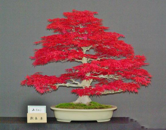 Zlking Plant Bonsai Tree 20 Acer Palmatum Dissectum Crimson Queen
