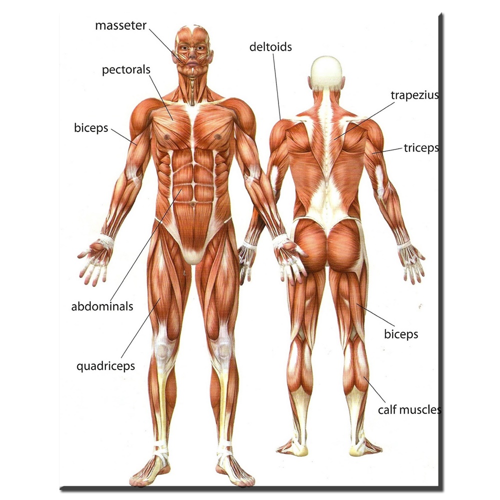 Zz1852 Canvas Painting Wall Art Picture Human Anatomy Muscles System