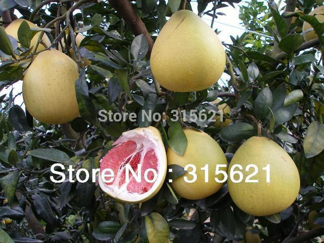 Images Of Pomelo Tree