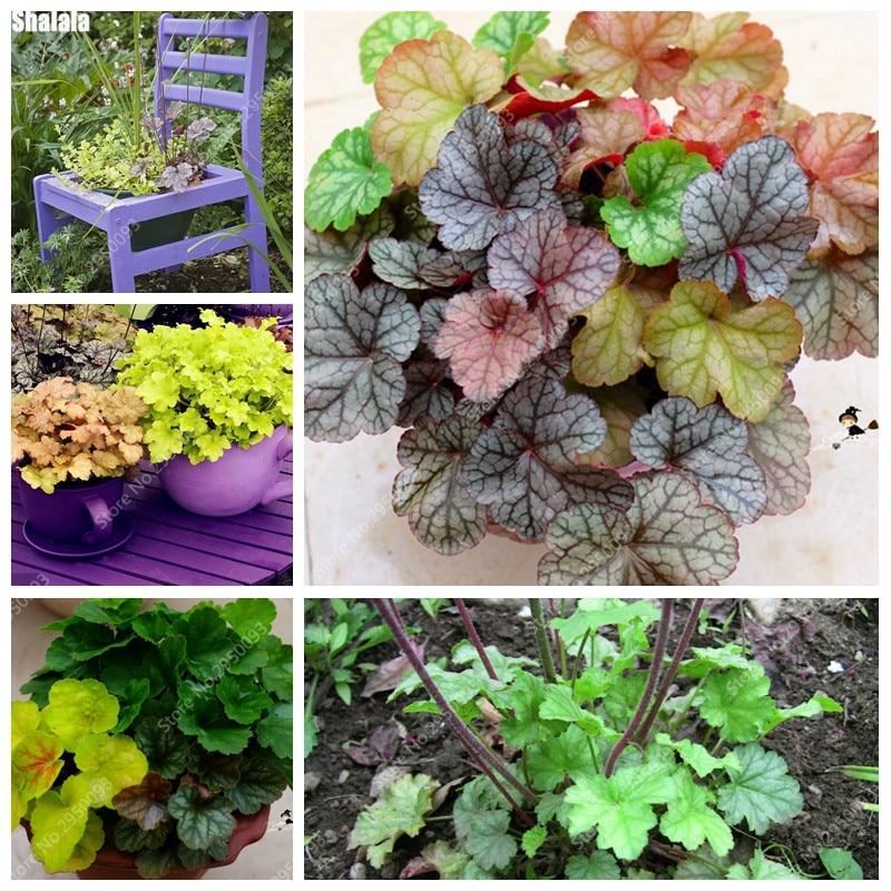Colorful Heuchera 100 Pcs/ Bag Coral Bell Flower Bonsai Plants Flower Diy Beautiful Green Plant For Home & Garden Decor