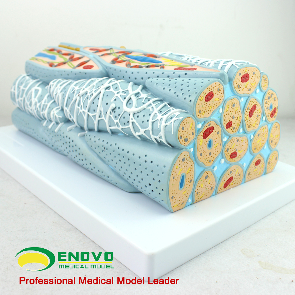 Smooth Muscle Tissue Model Cell Microscopic Model Medical Human