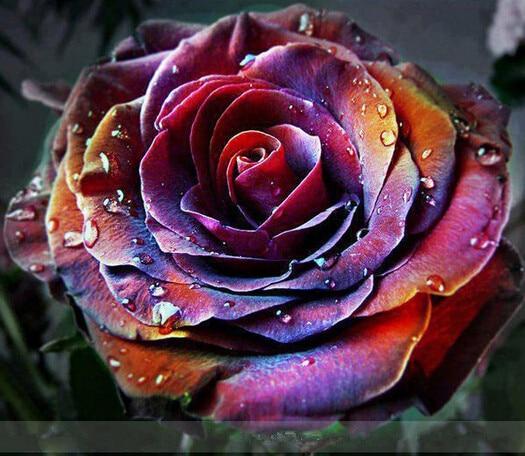 2016 new 1000 fire phoenix rose seeds rare color rich aroma diy home garden rose plant crazy. Black Bedroom Furniture Sets. Home Design Ideas