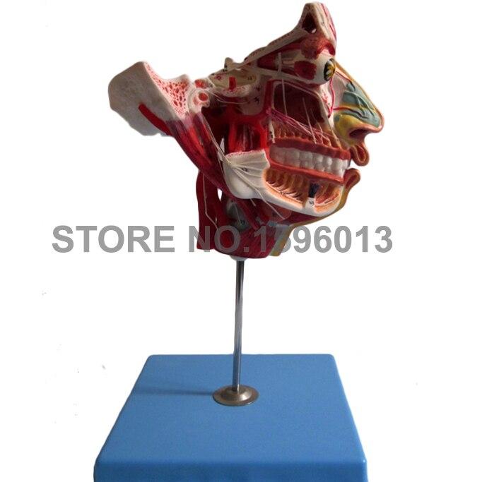 Zwei Seiten Kopf und Gesicht Anatomie Modell, muskeln, Nerven und ...