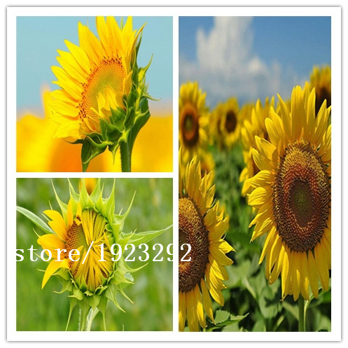 SUNFLOWER, LEMON QUEEN,50 SEEDS ORGANIC LARGE BEAUTIFUL VIVID COLORFUL BLOOMS