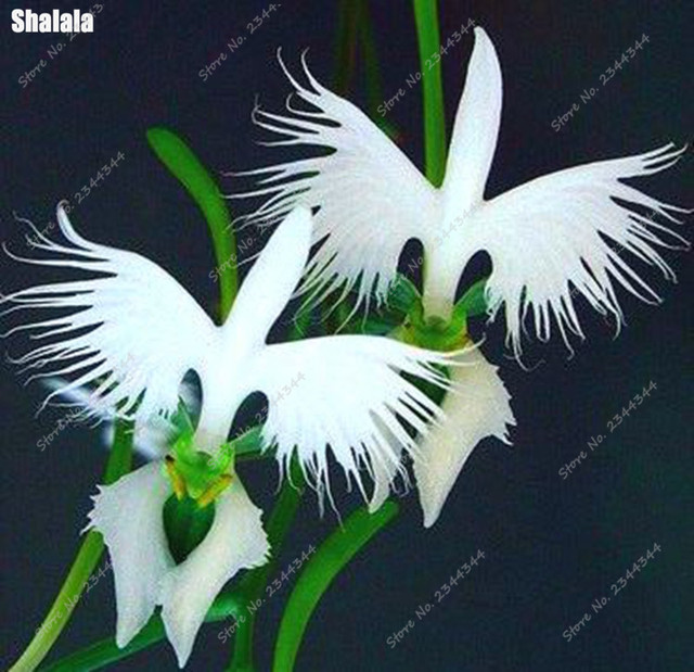 100pcsbag japanese absorb radiation white egret orchid seeds 100pcsbag japanese absorb radiation white egret orchid seeds worlds rare orchid bonsai flower plant mightylinksfo Image collections