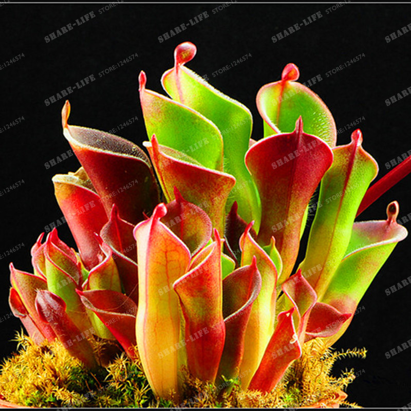 100PCS Heliamphora Minor Bonsai Carnivorous Plants Bonsai Bonsai Plants For Home  Lithops Bonsai Potted Garden Supplies