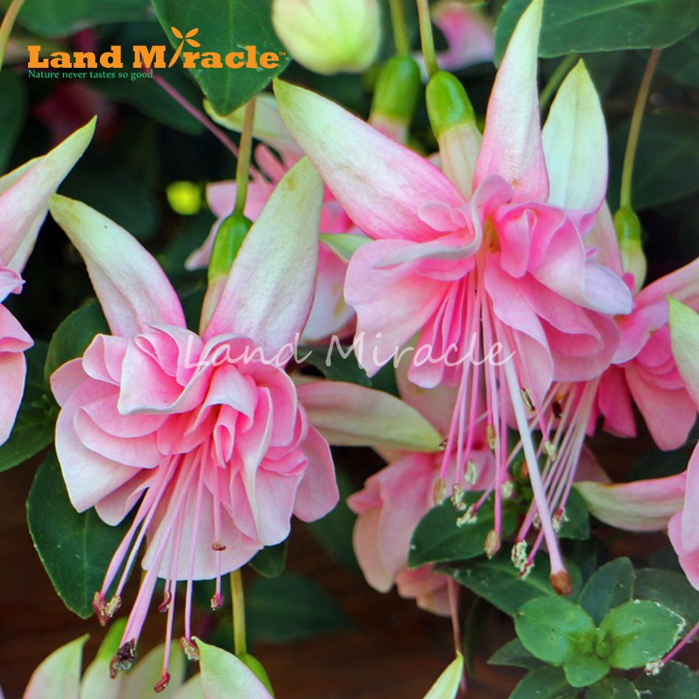 Land Miracle Pink Lily Fuchsia Seeds 100 Seedspack Fragrant