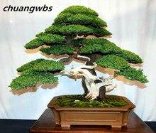 100 pcs/bag rare pine, Japanese Ornamental Potted Pine, bonsai tree for miniature garden plant pot