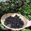 Большой Плод Облепихи Blackberry, вкусные, питательный, сладкий, плода Многолетнее Сад Или В Горшках 50 Частиц/Мешок
