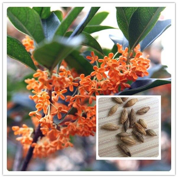 ᑐ10 pcs Cour fleur parfumée Osmanthus graines Vivaces plants plante ...