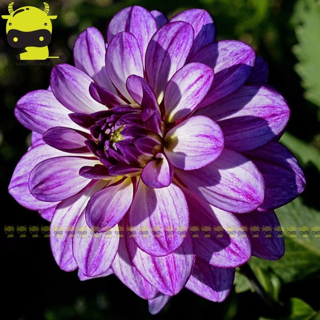 20pcs rare blue and white point dahlia seeds beautiful perennial 20pcs rare blue and white point dahlia seeds beautiful perennial flowers seeds dahlia for diy home mightylinksfo Images