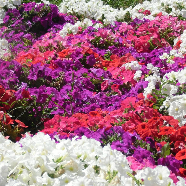 ZLKING 100pcs Garden Petunia Flower Bonsai Plants For Home Garden Exotic Plant Species Super Natural Products 2
