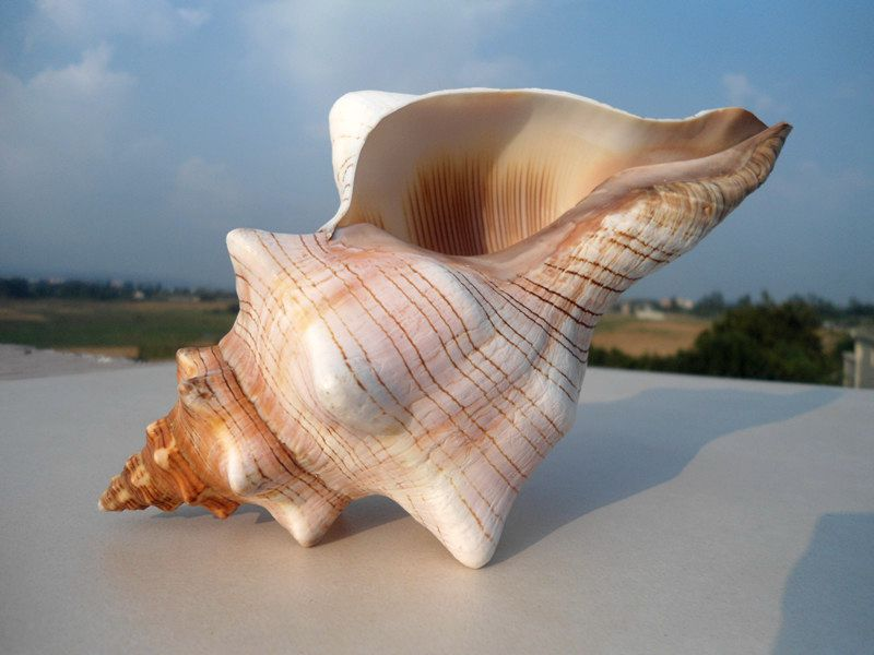 HappyKiss Natural Winding Conch Shells Decorate Wedding Shooting Props Fish Tank Aquarium Decorations Aquarium Accessories