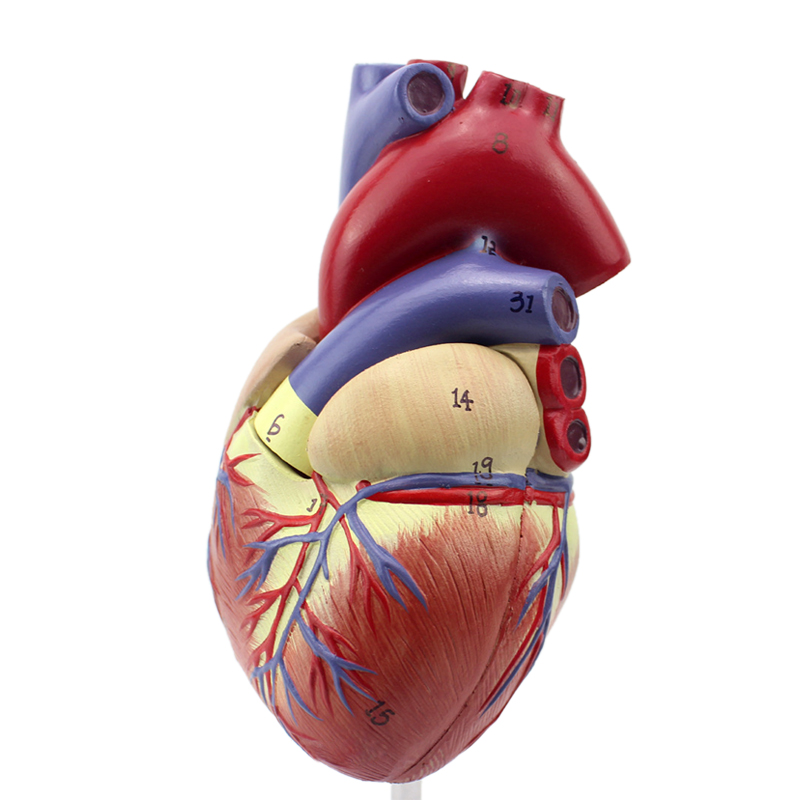 ENOVO1: 1 Hi-Q Human Heart Anatomisch model van Heart of the Heart - School en educatieve benodigdheden