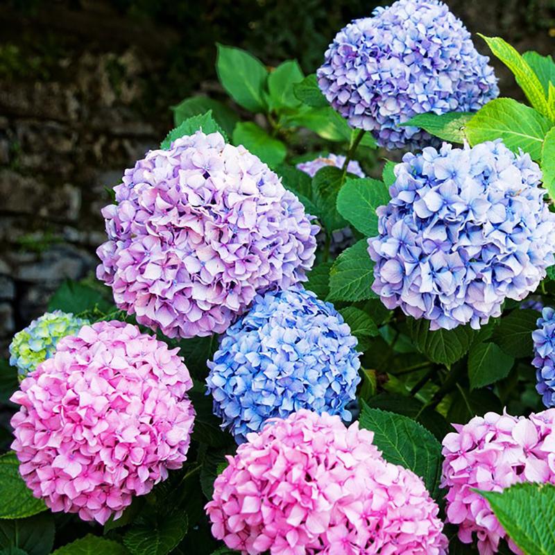 unidades de japons variedad de colores flor hortensia semillas plantas de jardn en casa bonsai
