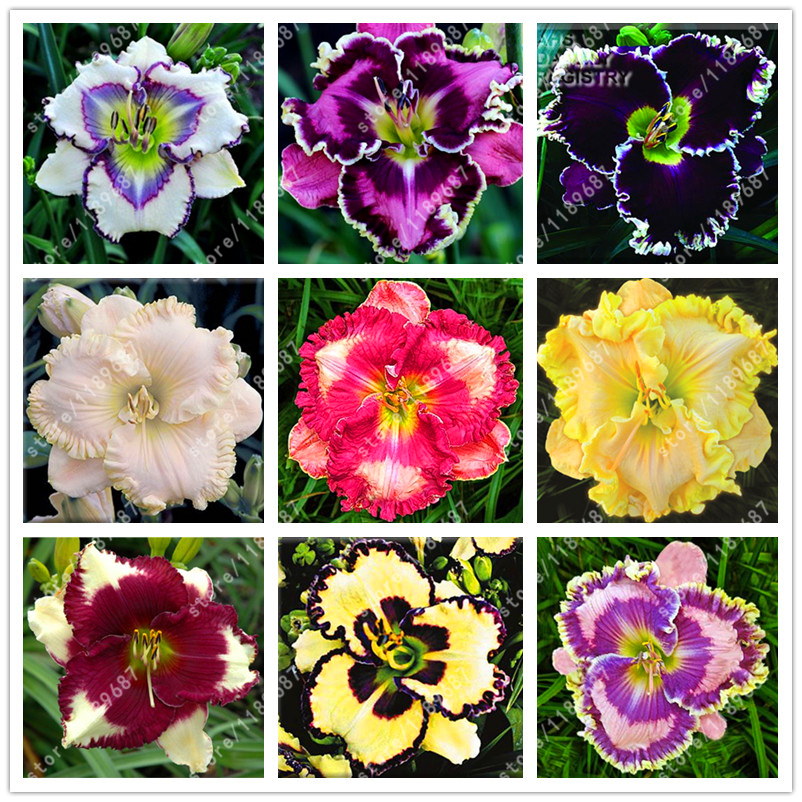 100 pcs/bag Hybrid Daylily Seeds bonsai flower seeds Hemerocallis Lily Indoor plant pot Home Garden Supplies