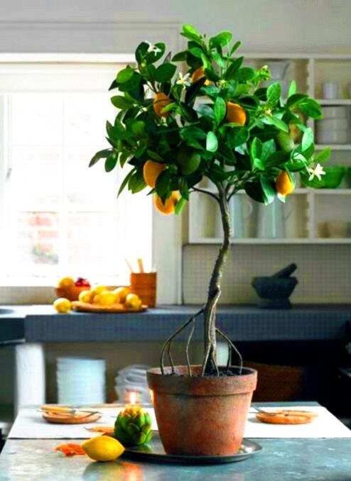 Lemon Tree Seeds Bonsai Fruit Tree Seeds Organic Yellow Lemon Seed Indoor Bonsai Plant For Home