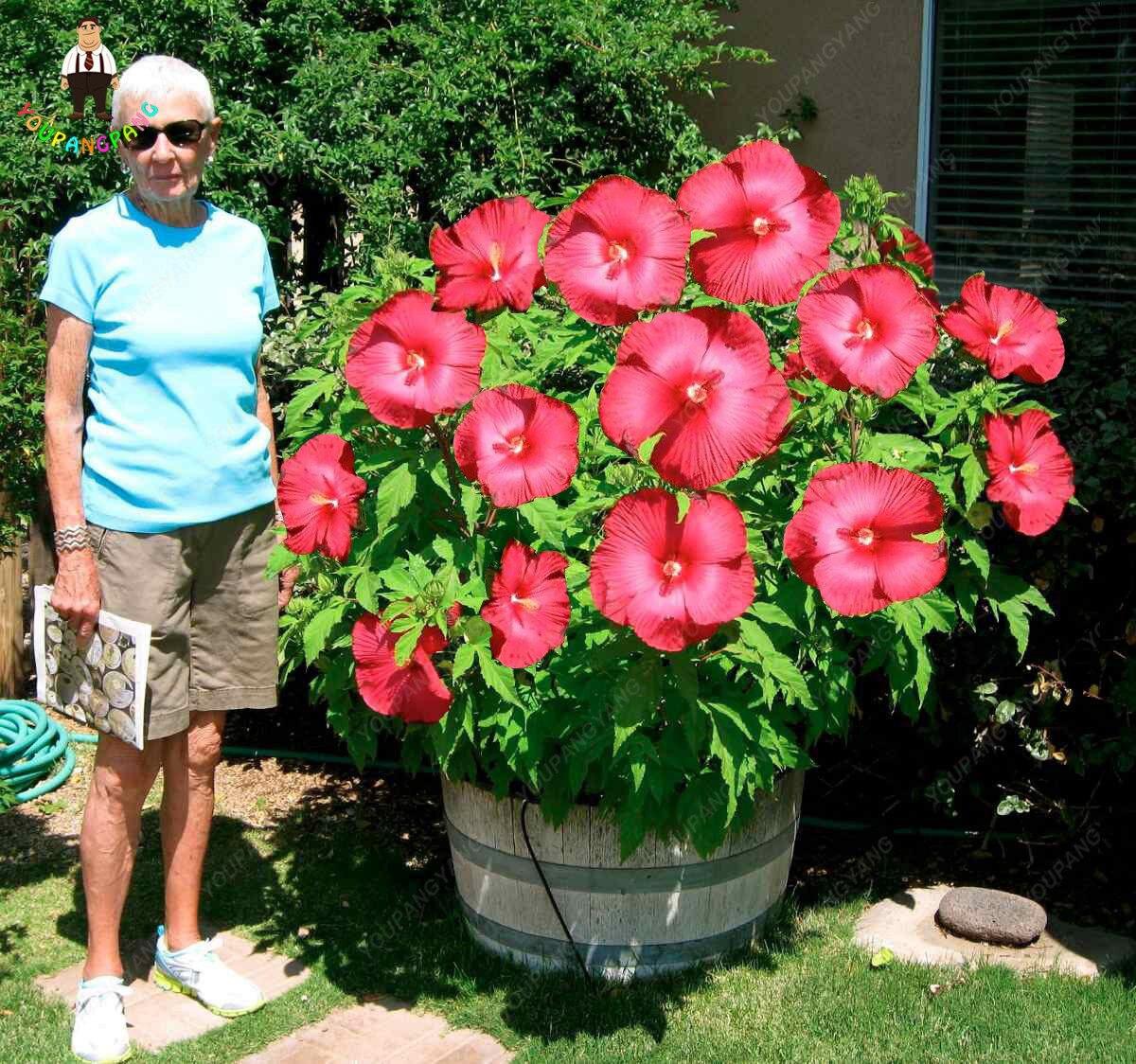 Online Shop On Sale!!! 200pcs Hibiscus plants 24kinds HIBISCUS ROSA ...