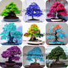 100% True Japanese Red Maple Bonsai Tree Cheap Seeds , 40 Seeds / Pack,, Very Beautiful Indoor Tree