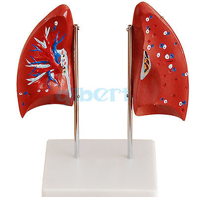 Life Size Human Lung Model into 4 Part Lobe Removable Respiratory System