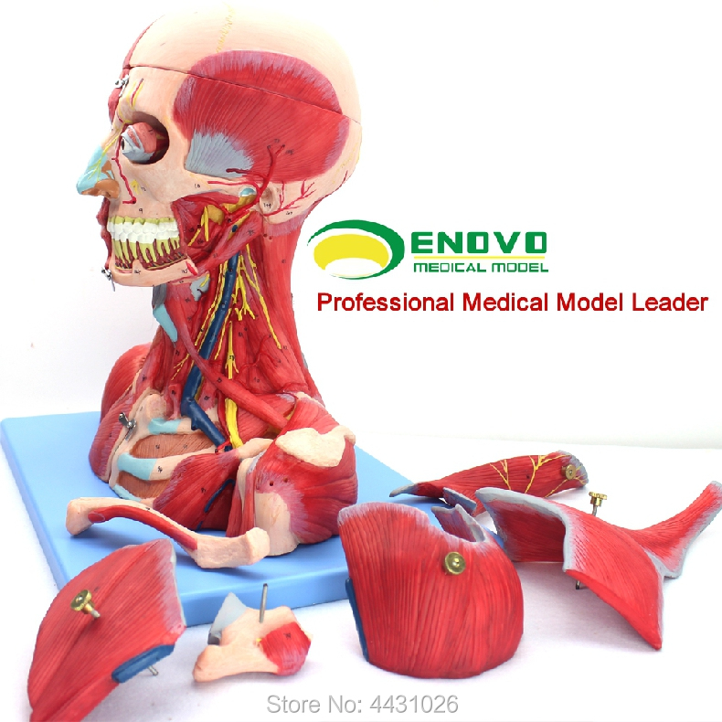 ENOVO Cerebrovascular anatomía del cuello del cerebro anatomía ...