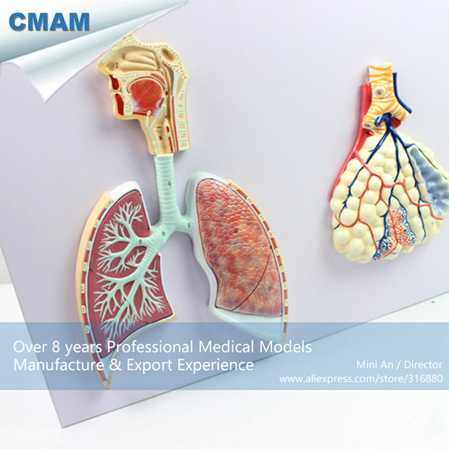 12503 CMAM LUNG06 Relief Human Respiratory System Model with ...