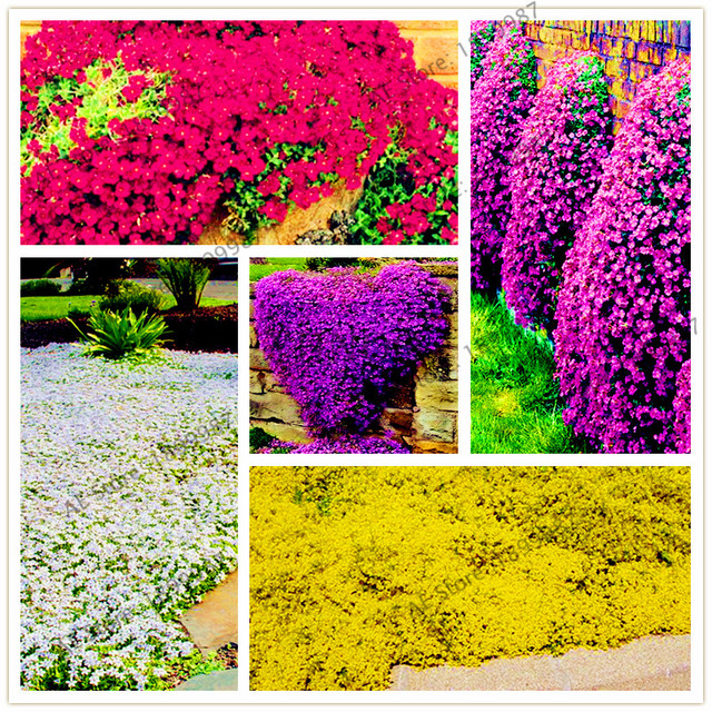 Aliexpress buy 205pcspack rock cress bonsai perennial 205pcspack rock cress bonsai perennial creeping thyme plant or blue ground cover flower natural mightylinksfo