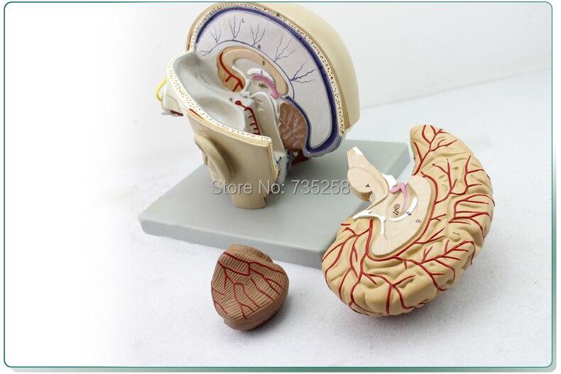 Senior Kopf Anatomisches Modell, Kopf Gesichts Zersetzung Modell ...