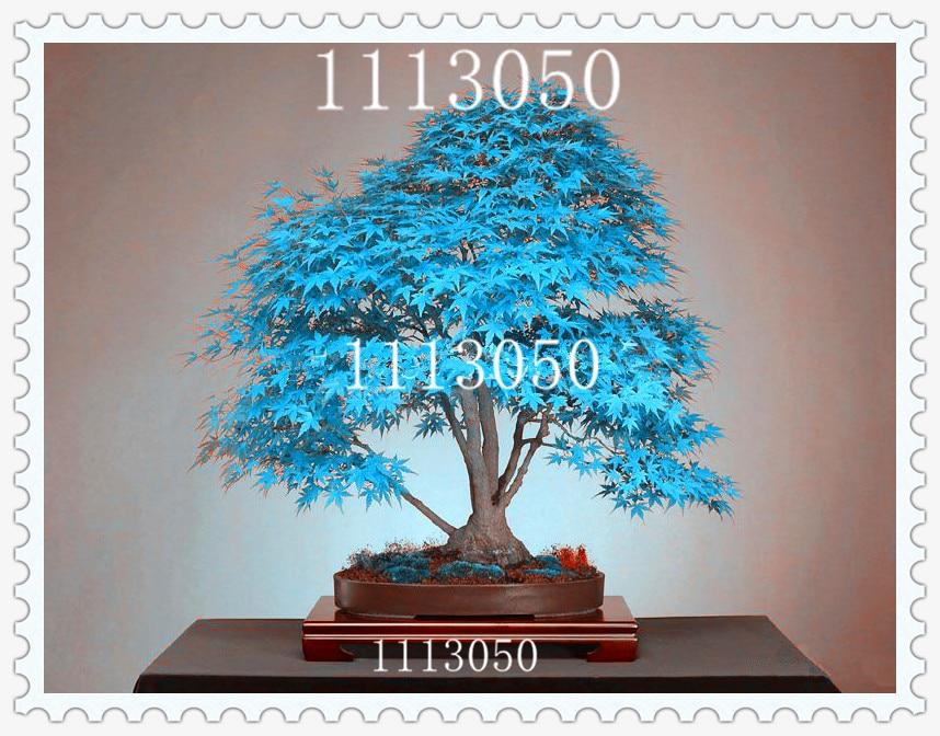 Acero blu acquista a poco prezzo acero blu lotti da for Acero bonsai vendita