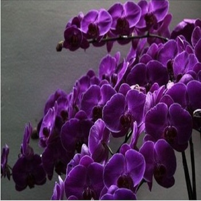 Butterfly orchid hot sale dark purple  100 seeds/bag