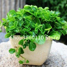 100pcs/bag Seedsplants Mint Seedling potted herb edible Plants in bonsai or pot Organic Plantas vegetables for home and garden