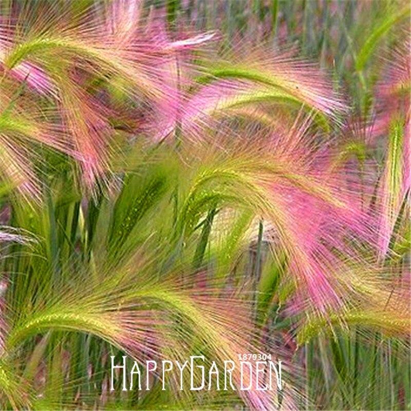 Loss Promotion! 100 Pcs/Bag Foxtail Barley Ornamental Grass Seeds (Hordeum jubatum),Rare Garden flower seeds