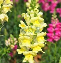 60pcs  Rain flower snapdragon grains flowers DIY Home Garden Bonsai gardening flower seeds